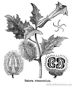 Illustration showing Jimson weed (Datura stramonium) a common weed in the Nightshade Family