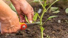 Tăierea tufelor de ardei: 3 pași spre o recoltă bogată - Fasingur Garden Tools, Flowers, Bloom, Growing, Garden