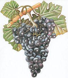 Cannonau Grape