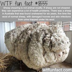 Sheep shearing - WTF fun facts