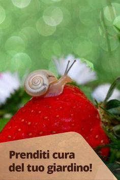Lumache e lumaconi possono diventare il nemico principale delle nostre piante. Se improvvisamente scopriamo foglie rosicchiate e una striscia argentata, dovremo correre ai ripari: allontanare le lumache e i lumaconi può essere l'unica soluzione! Tube, Strawberry, Fruit, Home, Strawberry Fruit, Strawberries, Strawberry Plant