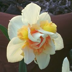 Double Narcissus, Double Daffodil 'Replete'