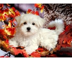 Really really really want a Maltese puppy for y birthday or Christmas!!!