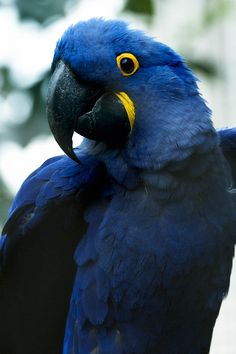 Primary reference. Hyacinth Macaw.