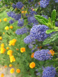 Ceanothus or California Lilac (purple/blue flowers) Grows best in full sun, little water once established. Perennial. Shrubby plant, height depends on variety. USDA zones 6-10.  photo by Holly Guenther