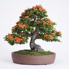 Bonsai, by Rock Junior Bonsai Garden, Garden Plants, House Plants, Ikebana, Indoor Bonsai Tree, Bonsai Trees, Bonsai Flowers, Dwarf Trees, Plantas Bonsai