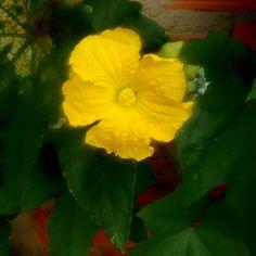 Flor de bucha (Luffa aegyptiaca)