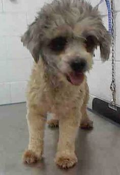 MISHA (A1716825) I am a female cream and brown Terrier. The shelter staff think I am about 2 years old. I was found as a stray and I may be available for adoption on 08/12/2015. Miami Dade https://www.facebook.com/urgentdogsofmiami/photos/pb.191859757515102.-2207520000.1438982616./1024319744269095/?type=3&theater