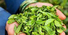 10 Best Ways to Use Tea Tree Oil - Healthy Holistic Living Best Tea Tree Oil, Tea Tree Oil Uses, Tea Tree Essential Oil, Essential Oil Uses, Natural Cures, Natural Health, Healthy Holistic Living, Healthy Living, Tea Benefits