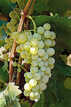 rather aromatic, white grape variety, Zoumiatiko is cultivated throughout northern Greece. It is mixed into white and rosé blends. Fruit And Veg, Fresh Fruit, Fruits And Vegetables Pictures, Vine And Branches, Fruit For Diabetics, Grape Plant, Mint Plants, All Fruits, Beautiful Fruits