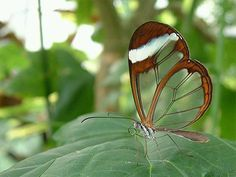 Mariposa Espejitos, Costa Rica  Pinned by #vacation planning experts www.4tulemar.com