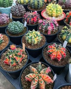 Rare succulents are so spectacular it doesn't matter how many you own you can never have too many. Rare succulents don't necessarily require special care. Succulents For Sale, Cacti And Succulents, Planting Succulents, Planting Flowers, Types Of Cactus Plants, Cactus House Plants, Indoor Cactus, Cactus Cactus, Mini Cactus Garden