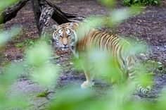 Matan tigres a hombre en zoológico de Copenhague | Info7 | Internacional