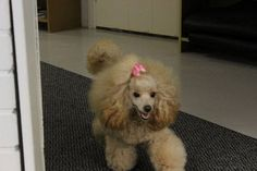 Ymmi the poodle, Pulmusten kennel.