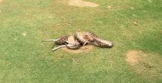 Cairns, Python, Golf Humor, Funny Golf, Kangaroo, Behind The Scenes, Animals, Twitter, Reptiles