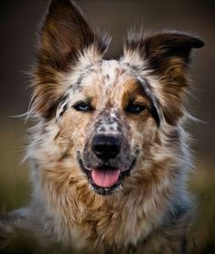 rough looking border collie/maybe Australian shepherd mix? Cute Puppies, Cute Dogs, Dogs And Puppies, Doggies, Dalmatian Puppies, Collie Puppies, Animals Beautiful, Cute Animals, Animals Dog