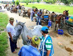 cali| Viernes, Junio 1, 2012   50 caballos carretilleros hacen fila en jornada de salud en Cali. Carretillas saldrán de las calles en 2013. Foto: Julio Sánchez