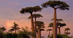 Caminho com baobás em Madagascar. Nativo da África, o baobá é uma árvore pré-histórica que pode atingir 30 metros de altura e 9 metros de diâmetro