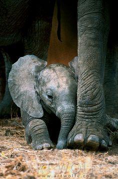 Elephants:  African #elephant calf resting - Tarangire National Park - Tanzania  | © Art Wolfe.