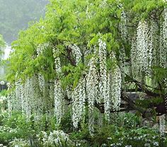 Tree Wisteria Longissima Alba. another white tree wisteria option. might be less fragrant than the texas one.