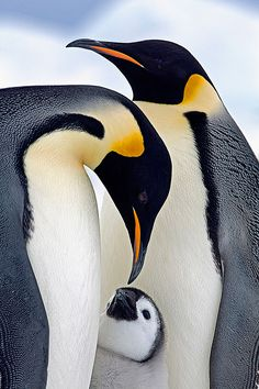 Emperor penguin parents and chick More