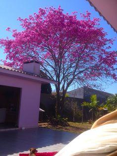 Ipê rosa na cidade de Lapa, Paraná, Brasil.  Fotografia: Maikon Lorenzen.