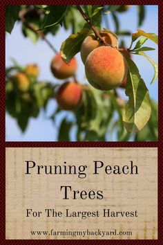 House Plant Maintenance Tips Pruning Peach Trees Helps Them Be Their Healthiest. It's Not Difficult To Learn, And Makes A Big Difference In The Amount Of Fruit You Harvest Pruning Peach Trees, Tree Pruning, Pruning Plants, Fruit Garden, Edible Garden, Veg Garden, Fruit Plants, Peach Tree Care, Prune Fruit