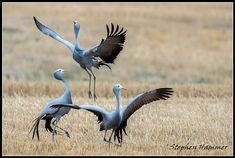 Protecting Our National Bird and Other African Crane Species Pretty Birds, Beautiful Birds, Our National Bird, South Africa Wildlife, Any Birds, Crane Bird, Types Of Animals, Watercolor Bird, African Animals