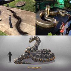 """Titanoboa; meaning """"titanic boa,"""" is an extinct genus of snake that lived approximately 60–58 million years ago, during the Paleocene epoch, a 10-million-year period immediately following the dinosaur extinction event."""