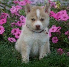 #Pomsky #Charming #PinterestPuppies #PuppiesOfPinterest #Puppy #Puppies #Pups #Pup #Funloving #Sweet #PuppyLove #Cute #Cuddly #Adorable #ForTheLoveOfADog #MansBestFriend #Animals #Dog #Pet #Pets #ChildrenFriendly #PuppyandChildren #ChildandPuppy #BuckeyePuppies www.BuckeyePuppies.com Pomsky Puppies, Lancaster Puppies, Puppies For Sale, Mans Best Friend, Daydream, Puppy Love, Husky, Pets, Animals