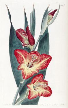 Gladiolus psittacinus. The Parrot Gladiole. Edwards's botanical register. v.17  London :James Ridgway,1829-1847.  Biodivlibrary. BHL. Biodiversity Heritage Library