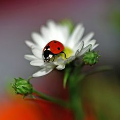 Ladybug.  Visit our newest ladybug video here: https://youtu.be/e-FCVldDhQI  #ladybugs #insects #whatdoladybugseat