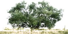 an Olive Tree in Chalkidiki Olive Tree, Trees, Nature, Inspiration, Outdoor, Biblical Inspiration, Outdoors, Naturaleza, Tree Structure