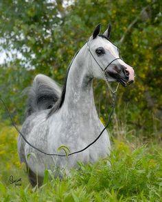 Major Love Affair (US) 2000 Polish-related Grey mare. DS Major Afire {Afire Bey x SS Magnolia by AN Magno} x HL Infactuation {HL Fifth Avenue x Georddanna by Aladdinn}