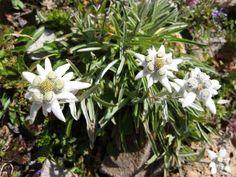 Foto der weissen Blüten vom Alpen-Edelweiß