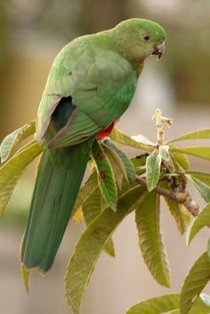 Parrots of Australia - Ask.com Image Search