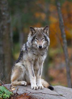 Timber Wolf by Jim Cumming**