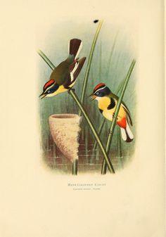 Cyanotis azarae. Birds of La Plata v.1 London [etc.] :E.P. Dutton & Co.,1920. Biodiversitylibrary. Biodivlibrary. BHL. Biodiversity Heritage Library