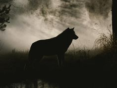 Title:A Gray Wolf, Canis Lupus, In Silhouette Artist:Jim And Jamie Dutcher