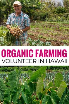 Want to learn organic farming? Volunteer in Hawaii on an organic farm. Find out how on Kupa'a Organic Farm in Maui. Hawaii Travel Guide, Maui Travel, Travel Tours, Travel Usa, Organic Gardening Tips, Organic Farming, Destinations, Hawaii Life, Tips & Tricks