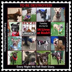 TO BE DESTROYED 01/16/18 - - Info https://newhope.shelterbuddy.com/Animal/List To rescue a Death Row Dog, Please read this:http://information.urgentpodr.org/adoption-info-and-list-of-rescues/ List of NH Rescues: http://www.nycacc.org/get-involved/new-hope/nhpartners To view the full album, please click ...- Click for info & Current Status: http://nycdogs.urgentpodr.org/to-be-destroyed-4915/