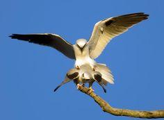 Australian Black-shouldered Kite (Elanus axillaris) Breeding pair of Australian black-shouldered kites mating