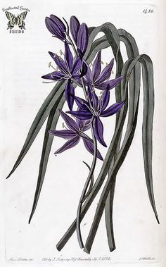 Quamash, small camas. Camassia quamash. Bulbous perennial native to Western North America. Bright blue flowers in May and June. Grows in coastal mountain forests. Inland it is found in wet meadows. Bulbs delicious & nutritous when cooked. (1832)