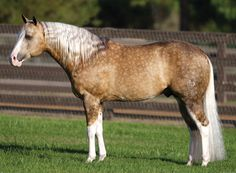 Big Chex To Cash, palomino AQHA/APHA registered stallion. Quarter Horse has got its name from quarter of mile races it was originally bred but later several different types of Quarters have been developed. They're outstanding cattle horses and reiners but can be used in almost every discipline, including dressage, hunter etc.