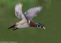 "500px / Photo ""Wood Duck"" by Mark Bates"