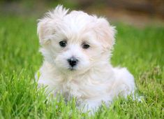 Ivy | Keystone Puppies: Puppies for Sale | Health Guaranteed    #morkie #keystonepuppies