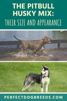 The Pitsky can be classified as a medium-sized dog, just like his parent breeds: the Pitbull and the Siberian Husky. You can expect the Pitbull Husky mix size to be between high. Check out our guide for more details. Pitbull Dog Breed, Pitbull Husky, Dog Breed Info, Husky Mix, Large Dog Breeds, Large Dogs, Alaskan Husky, Wild Spirit, Medium Sized Dogs