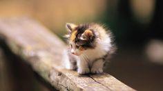 fluffy kitten - (#38217) - HD Wallpapers - Animals HQ Wallpapers on WallsInHD.com