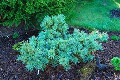 Pinus pumila Jeddeloh