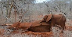 a baby elephant refuses to leave her mom and she was killed for her tusks we have to advocate and be their voice-be a voice for the voiceless- we must stop poachers which is why signing petitions @ care2.com & change.org visit * The David Sheldrick Wildlife Trust * @ https://www.sheldrickwildlifetrust.org/ Donate to adopt an orphaned elephant, please !